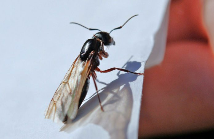 flying-ant-day-2021